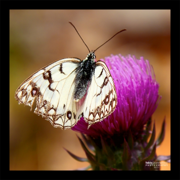 farfalla-800b